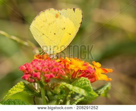 Eurema lisa, Little Yellow butterfly feeding on a yellow and red Lantana flower in summer garden