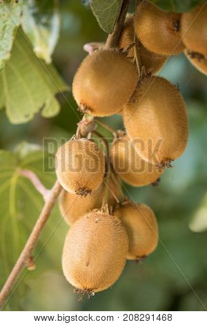 Cluster of ripe kiwi fruit on the branch