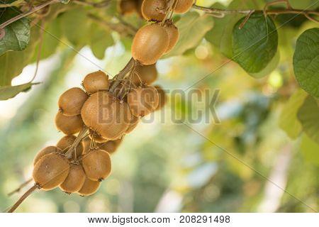 Organic kiwi fruit plantation