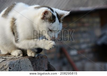 white cat on the roof