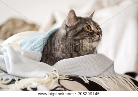 Adult scottish straight breed cat lying in bed under a plaid.