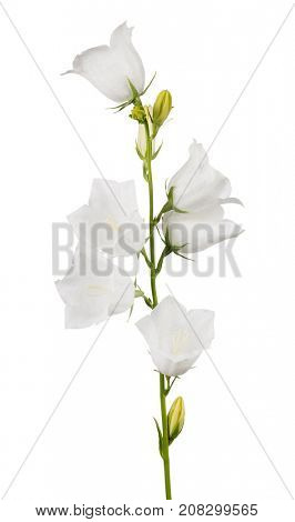 large bellflowers isolated on white background
