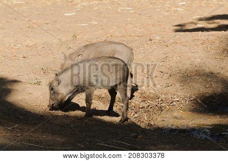 Pair of young warthog (phacochoerus africanus) at a waterhole