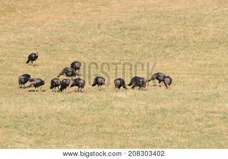 Flock of male turkey's (Meleagris gallopavo) feeding in a field