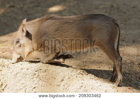 Young African Warthog (phacochoerus africanus kneeling to feed