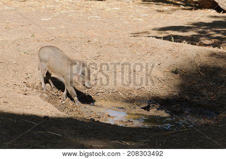 Young warthog (phacochoerus africanus) approaching a waterhole