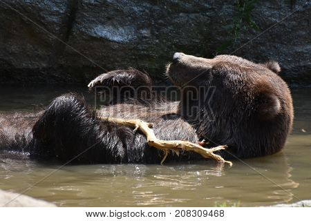 Adorable brown grizzly bathing in the wild while holding onto a tree branch