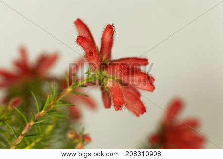 Fire Erica (erica Cerinthoides)
