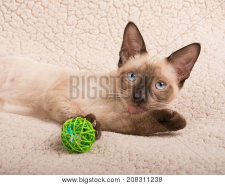 Cute Siamese kitten licking his paw while lying down on a soft blanket, looking up