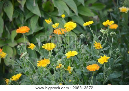 Flowering marigolds (Calendula officinalis) flowers in a garden patch