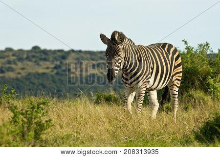 single lonely zebra walking through a savanna land of short dry grass