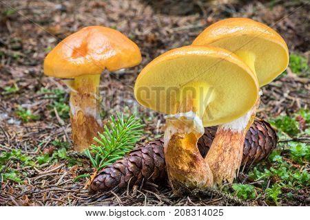 Suillus Grevillei Commonly Known As Grevilles Bolete