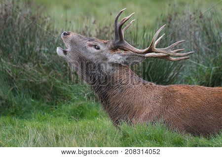 Close up head profile side view portrait of a red deer stag bellowing at the rut