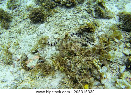 Sea snake on sea bottom. Underwater photo. Sand seabottom and seaweed. Dangerous marine animal. Poisonous sea snake swimming in shallow sea water. Striped seasnake. Seaside threat. Aquatic animal