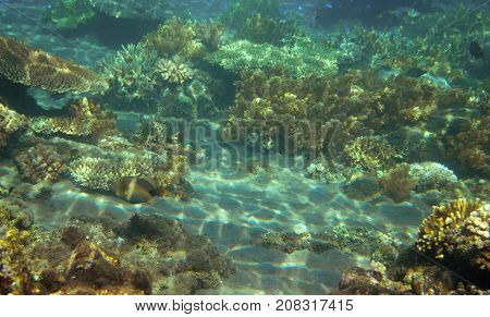 Underwater landscape with coral reef. Coral undersea photo. Seashore relief. Sunlight on shallow sea bottom. Seaweed and coral ecosystem. Tropical seashore snorkeling. Marine landscape. Tropic lagoon