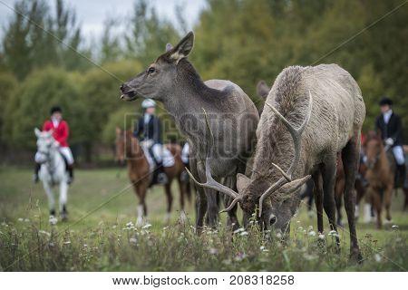 Autumn. Horseback riding. Two deer. Hunting for deer.