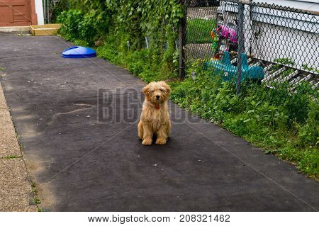 goldendoodle puppy sitting on driveway looking at camera