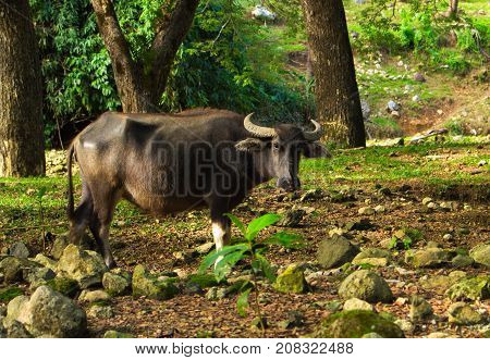 Cow or carabao on forest pasture. Asia agriculture travel photo. Carabao farm animal in Philippines. Buffalo bull on pasture. Green grass meadow in sunshine. Asian village scene. Domestic animal cow