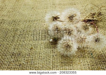 a bouquet of dandelions tied with a thread of burlap sackcloth.