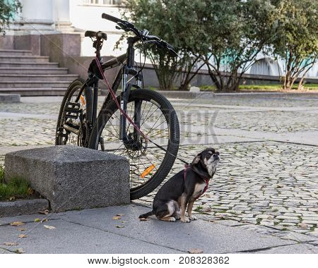 Small dog on a leash guards the bike. Alive security alarm