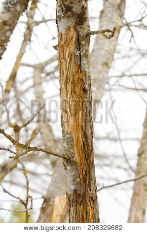 Damage to fruit trees caused by Elk stripping the bark during the winter