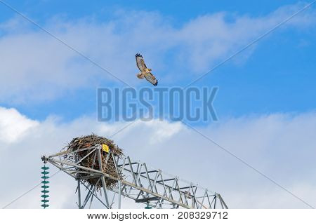 Adult Red-tailed Hawk and nest in the top of a power line tower