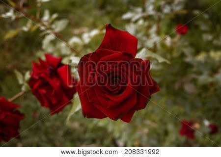 Red rose on a green background. Red garden rose. Red rose. Rose background. Rose style. Romantic background. Rose.