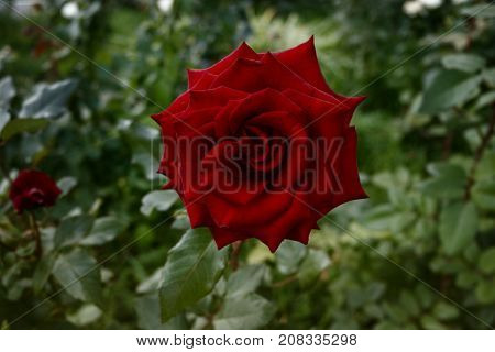 Red garden rose. Red rose on a green background. Red rose. Rose. Romantic background. Garden rose. Rose background.