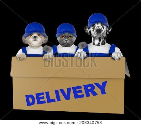 Mail dalmatian dog in a very big moving box. Isolated on black background