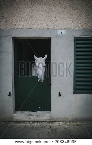 White horse showing the head through stable door.