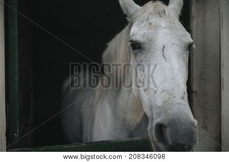 Close up portrait of white horse with a scar in the face