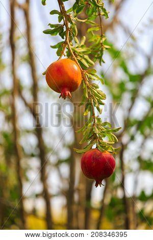 A Ripe pomegranates on a his branch