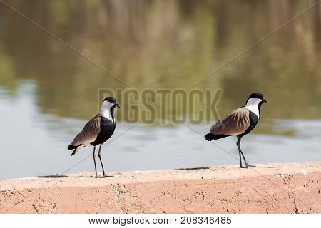 Pair Of Mature Spur-winged Lapwing