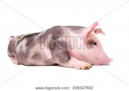Cute funny little pig lying isolated on white background