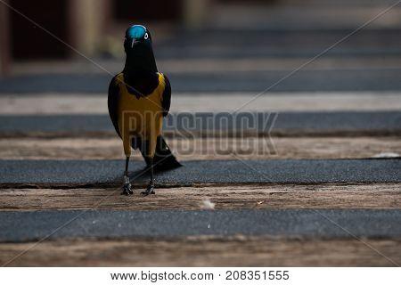 Little Superb starling bird close-up in a jurong birds park.