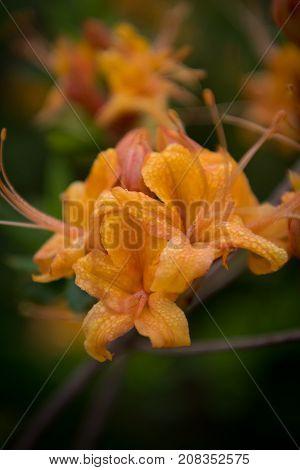 Selective Focus Of Dew Drops On Azalea