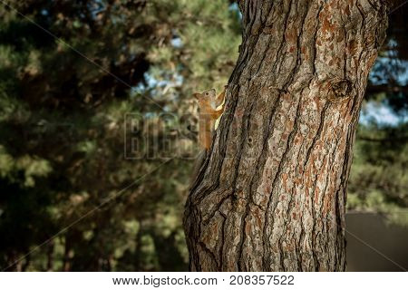Squirrel is moving up to the fir tree
