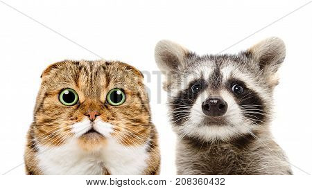 Portrait of Scottish Fold cat and raccoon, closeup, isolated on white background
