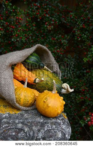 Burlap Sack Spilling Green And Orange Warty Ornamental Gourds