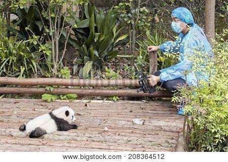 Chengdu, China - September 28, 2017: Journalist Filming Baby Panda First Public Display In Chengdu R