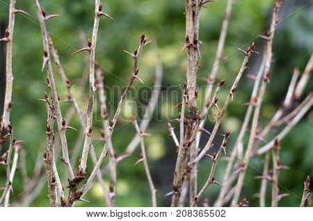 Interlacings of branches of gooseberry bushes with prickly thorns on blurred background with fallen apples an autumn time
