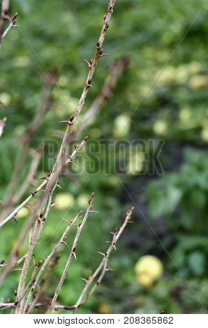 Branches of gooseberry bushes with prickly thorns on blurred background with fallen apples in autumn