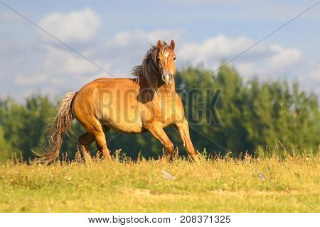 Wild Sorrel horse is galloping on floral meadow