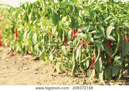 Chili peppers on bushes in garden