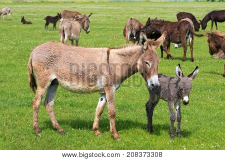 Heard of donkeys on the meadow gray calf and brown mother
