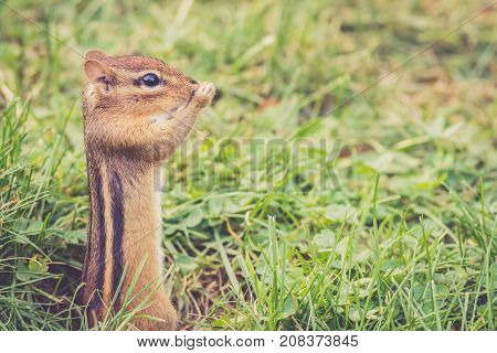 Funny little Eastern Chipmunk (Tamias Striatus) standing and holding nose