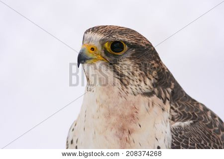 Portrait of the peregrine falcon isolated on white