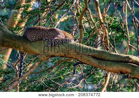 African leopard or Panthera pardus rests on a branch of a tree