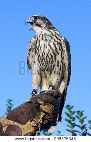 Wild young falcon on trainer glove Falco peregrinus