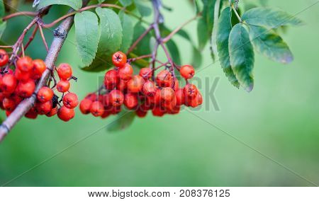 Mountain rowan ash branch berries. Autumn harvest still life scene. Soft focus blurred background photography